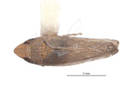 Scaphytopius peruigua image