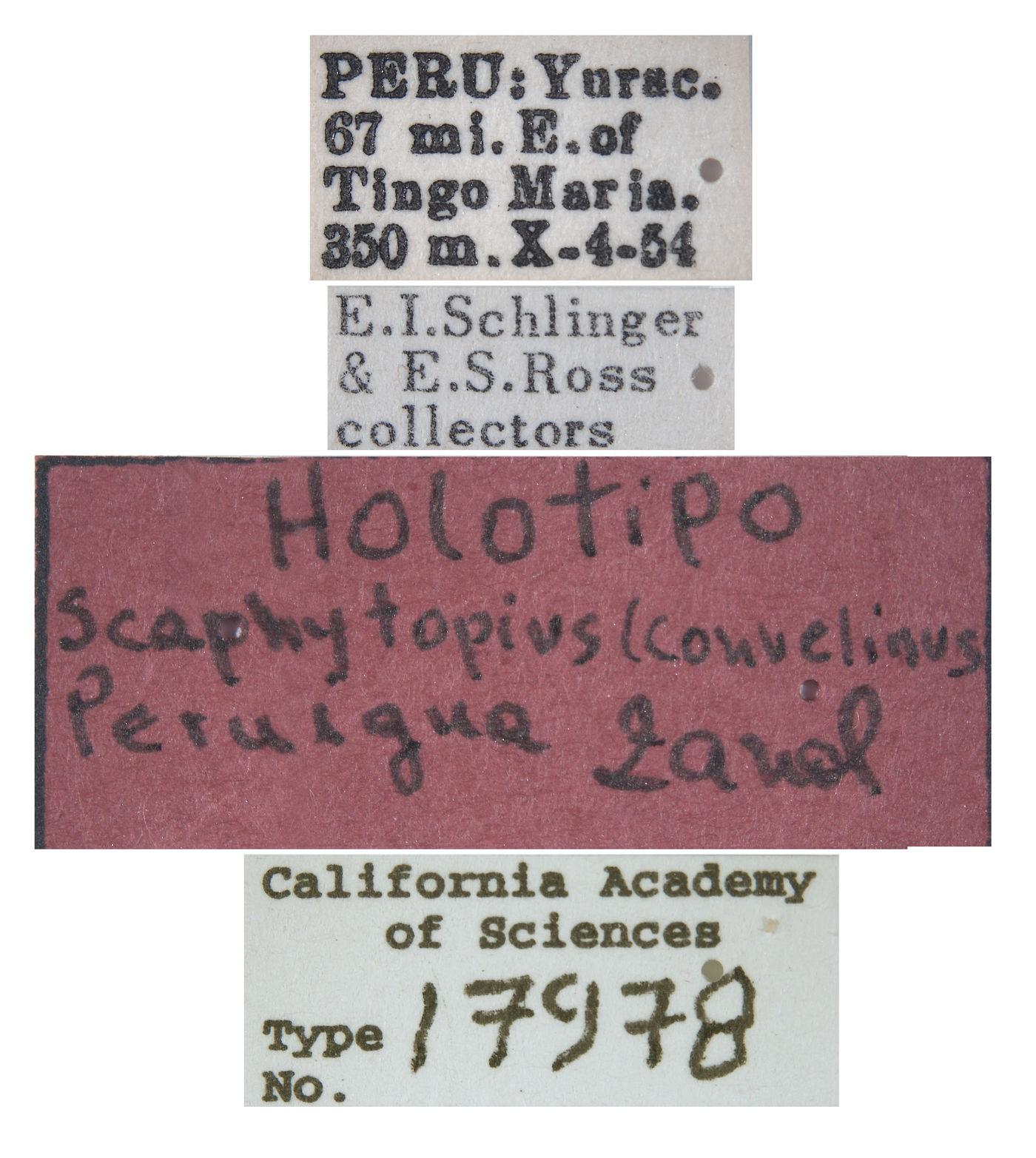 Scaphytopius image