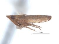 Image of Scaphytopius peruigua