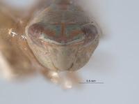 Scaphytopius virescens image