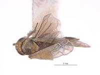 Erythria donaldsoni image