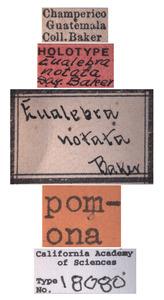Eualebra notata image