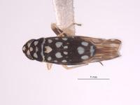 Protalebra maculata image