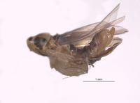 Image of Typhlocyba bimaculata