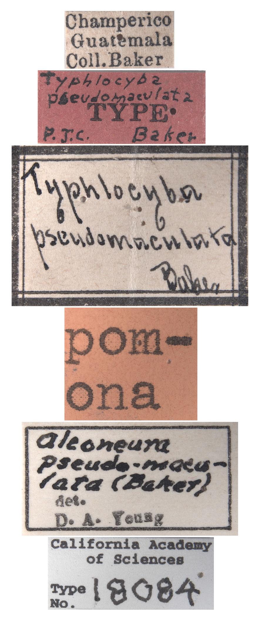 Typhlocyba pseudomaculata image