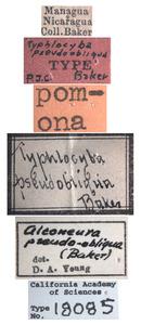 Image of Typhlocyba pseudoobliqua
