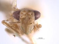 Image of Empoasca ecuadorensis
