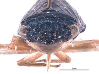 Image of Naltaca eremica