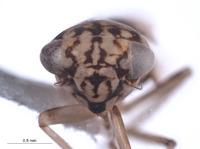 Nesocerus affinis image