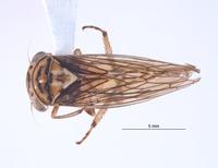 Nesocerus basiprocessus image