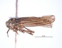 Image of Nesocerus basiprocessus