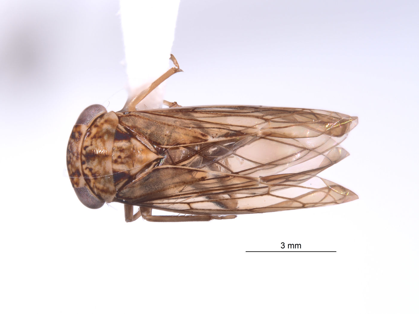 Nesocerus brevipinguis image
