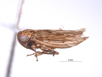 Image of Nesocerus brevipinguis