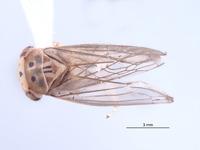 Nesocerus compressus image