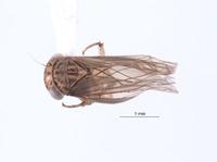 Nesocerus dorsalis image