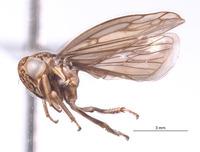 Nesocerus mananarensis image