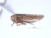 Image of Nesocerus nanus