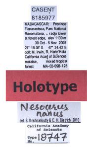 Nesocerus nanus image