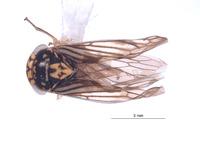 Nesocerus nigrum image