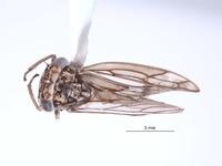 Image of Nesocerus orbiculatus