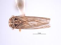 Nesocerus recurvus image