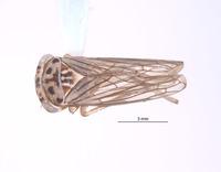 Nesocerus serratus image