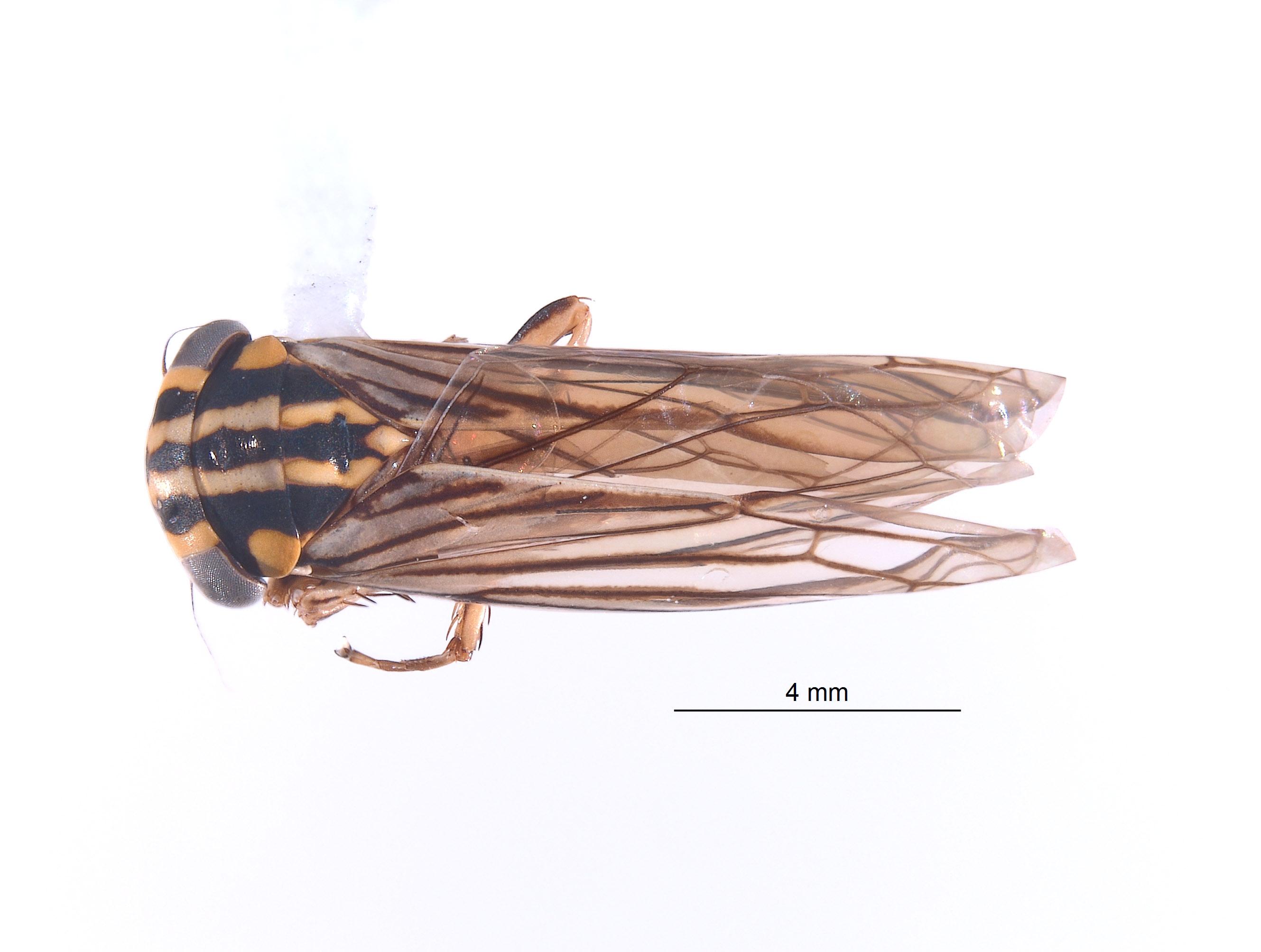 Nesocerus tristriatus image