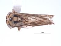 Image of Nesocerus unimaculatus