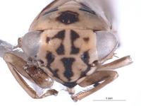 Nesocerus unimaculatus image