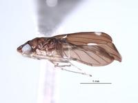 Ujna affinis image