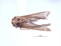 Image of Agallidwipa biramosa
