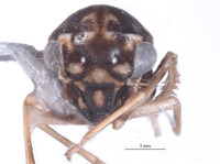 Image of Agallidwipa bispinosa