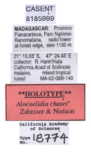 Alocoelidia chasei image