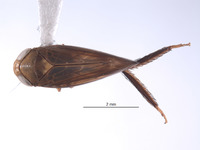 Alocoelidia maurae image