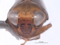 Image of Alocoelidia maurae