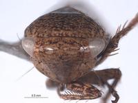 Image of Goniagnathus emeljanovi
