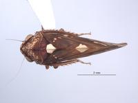 Image of Ikelibeloha cristata