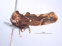 Ikelibeloha cristata image