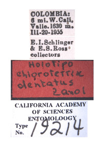 Chlorotettix hamiltoni image