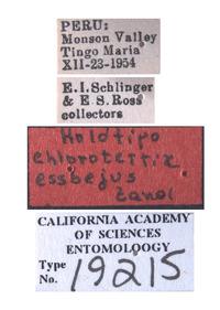 Chlorotettix essbejus image