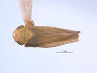 Gloridonus quintini image