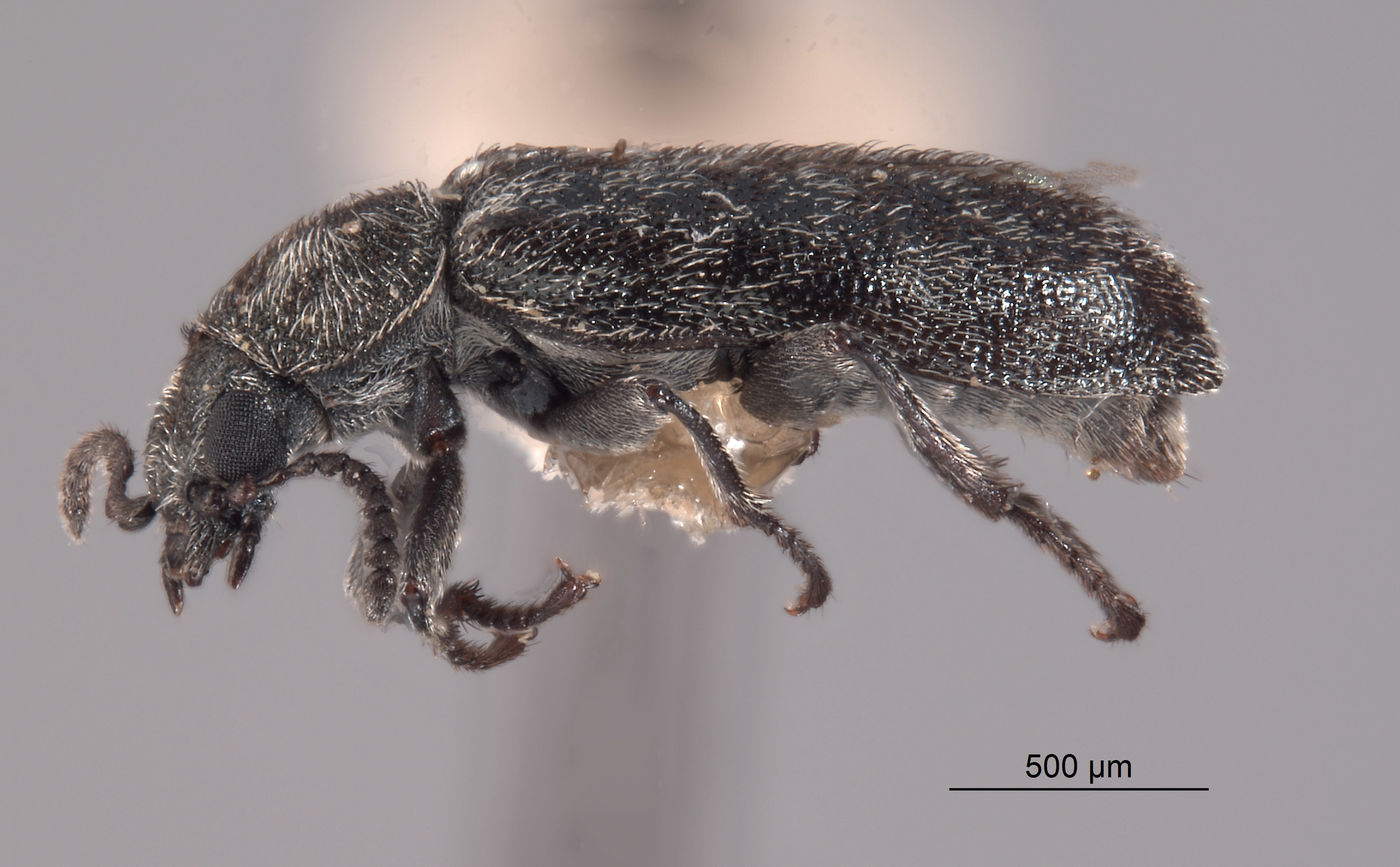 Listrus cephalicus image