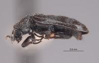 Listrus dilutus image