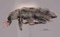 Listrus niveicanthus image