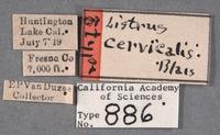Listrus cervicalis image