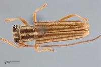Image of Heteroglenea glechoma