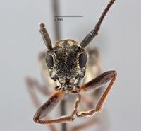 Glenea pieliana nigra image