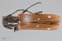 Image of Eumecocera anomala