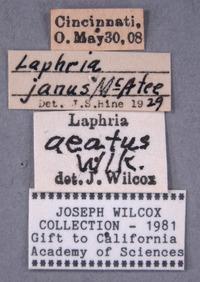 Laphria aeatus image