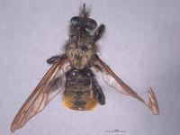 Image of Laphria altitudinum